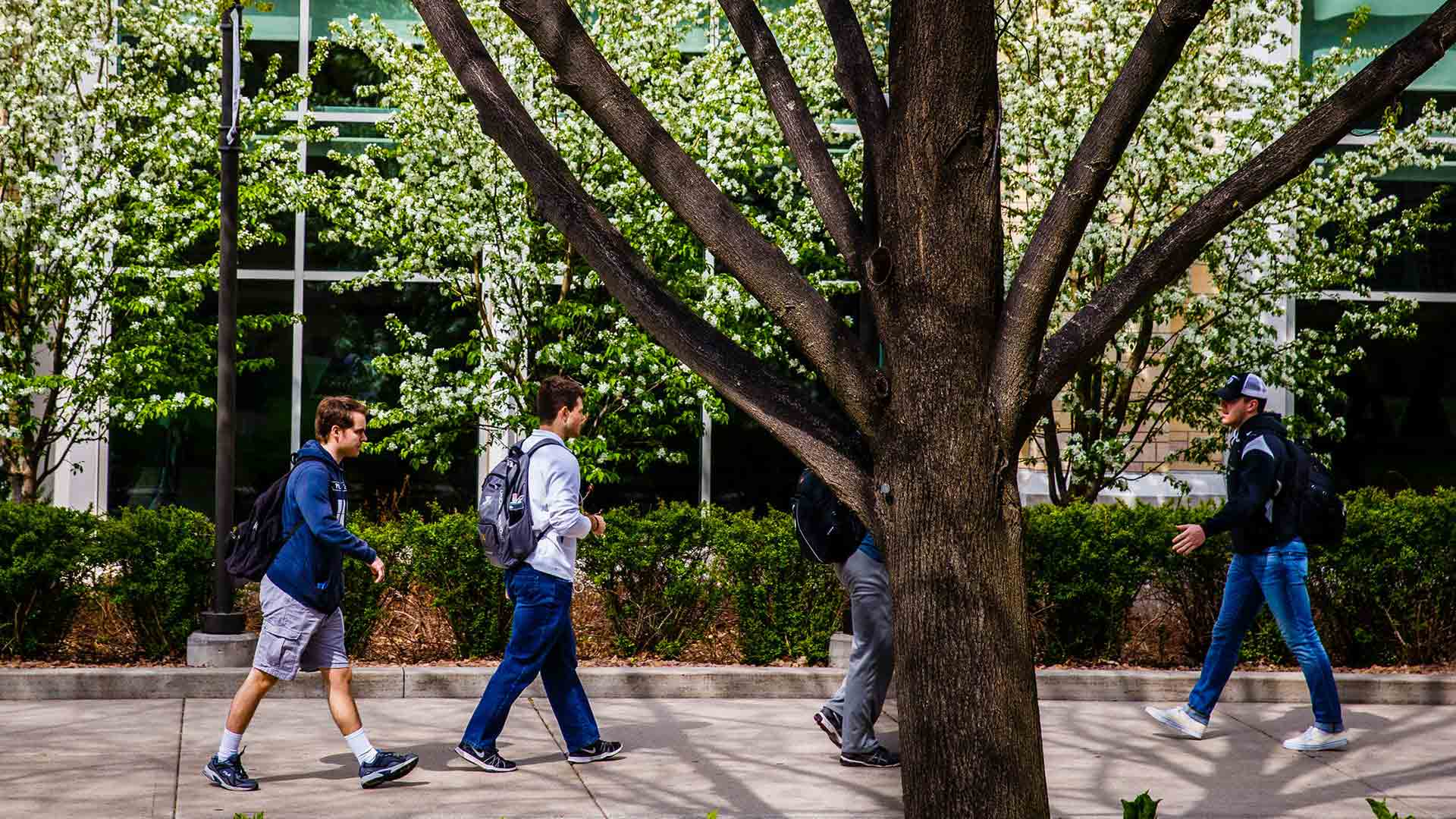 Students walk between the upper and lower quads amid white blossoms.