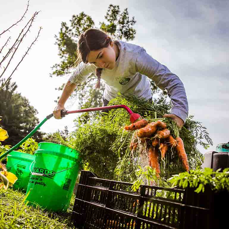 Student washes carrots at the Stewardship Garden on South Campus in St. Paul.